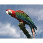 Изображение Попугай Ара